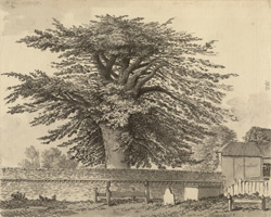 The Great Cedar Tree at Illington f.142